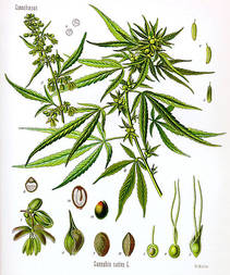 Cannabis sativa Koehler drawing