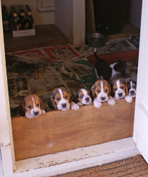 Basset-Hound-Puppies-Let-Out-Feeding.jpg