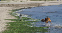 Gunner-Playing-with-A-Bull-Mastiff