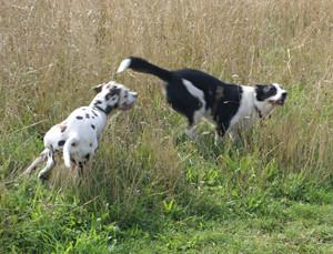 Dogs Playing while Dog Walking