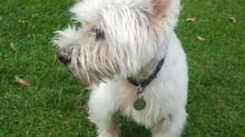 'Wee' Weeping Willy Westie