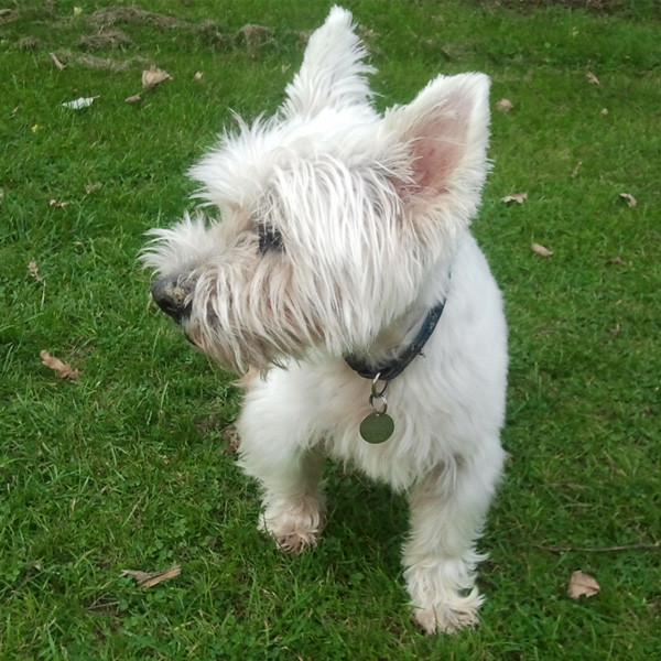 Walking Westie in the Park While House Sitting in Kent
