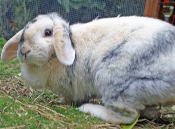 House Sitting and Pet Sitting Polly the Rabbit