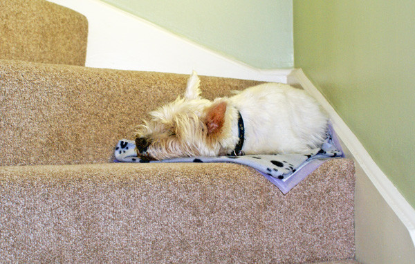 Westie Sleeping on the Stairs - House Sitting in Kent