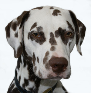 Dog Sitting a Dalmation in Colchester