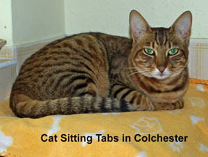 Cat Sitting Tabs in Colchester