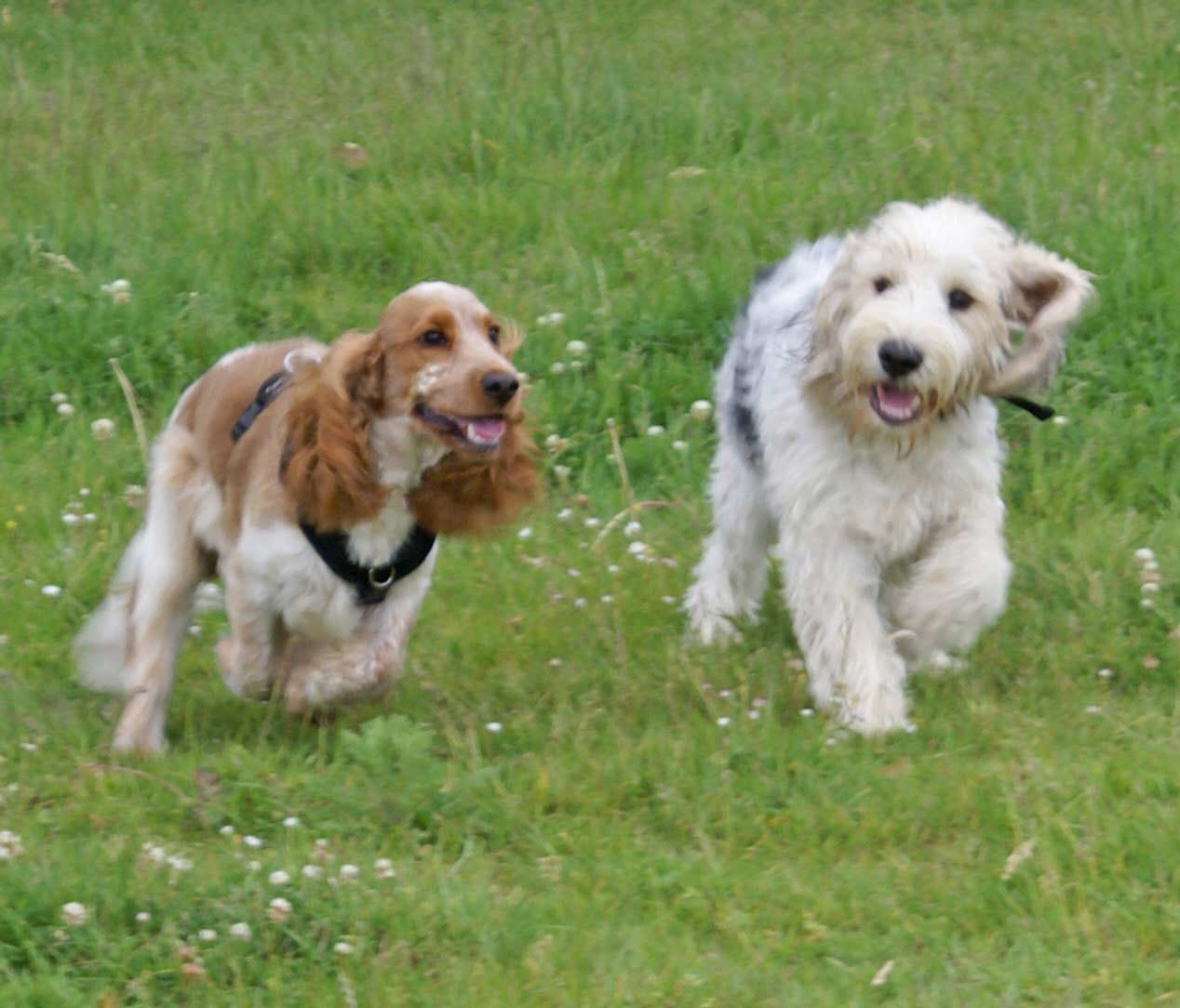 Bertie-in-Park-with-Spaniel-min