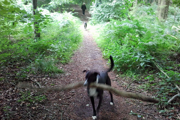 Walk in the Woods with Dizzy and Boo while Dog Sitting in the Chilterns