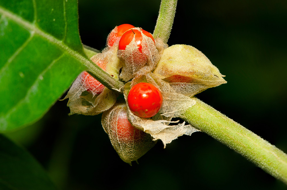Ashwagandha: la plante adaptogène par excellence