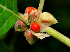 Ashwagandha : la plante adaptogène par excellence.
