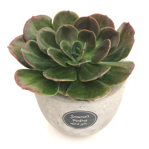 Blue Metal Succulent
