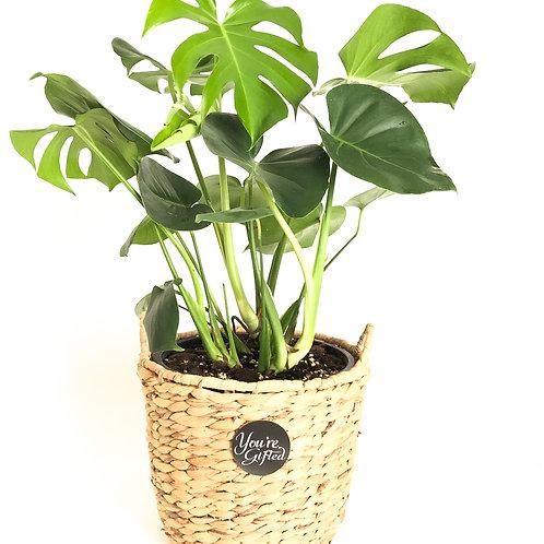 Monstera Exotic Indoor Plant