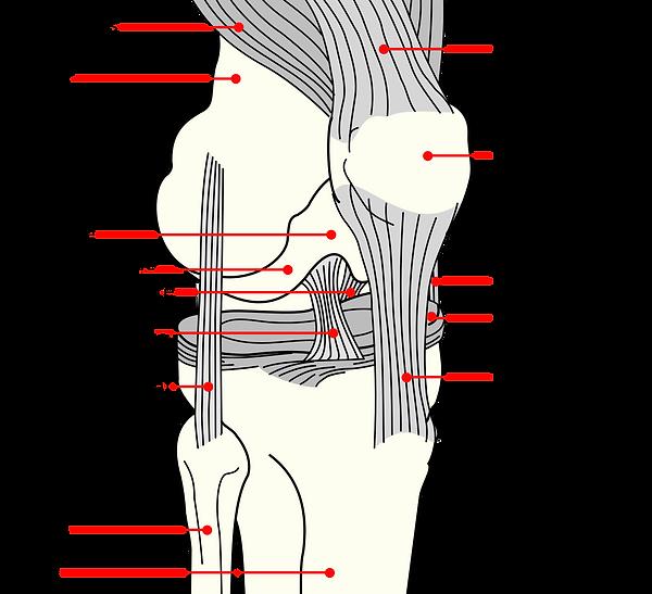 Knee_diagram.png