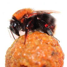 IMG_11613_Bombus hypnorum foundress quee