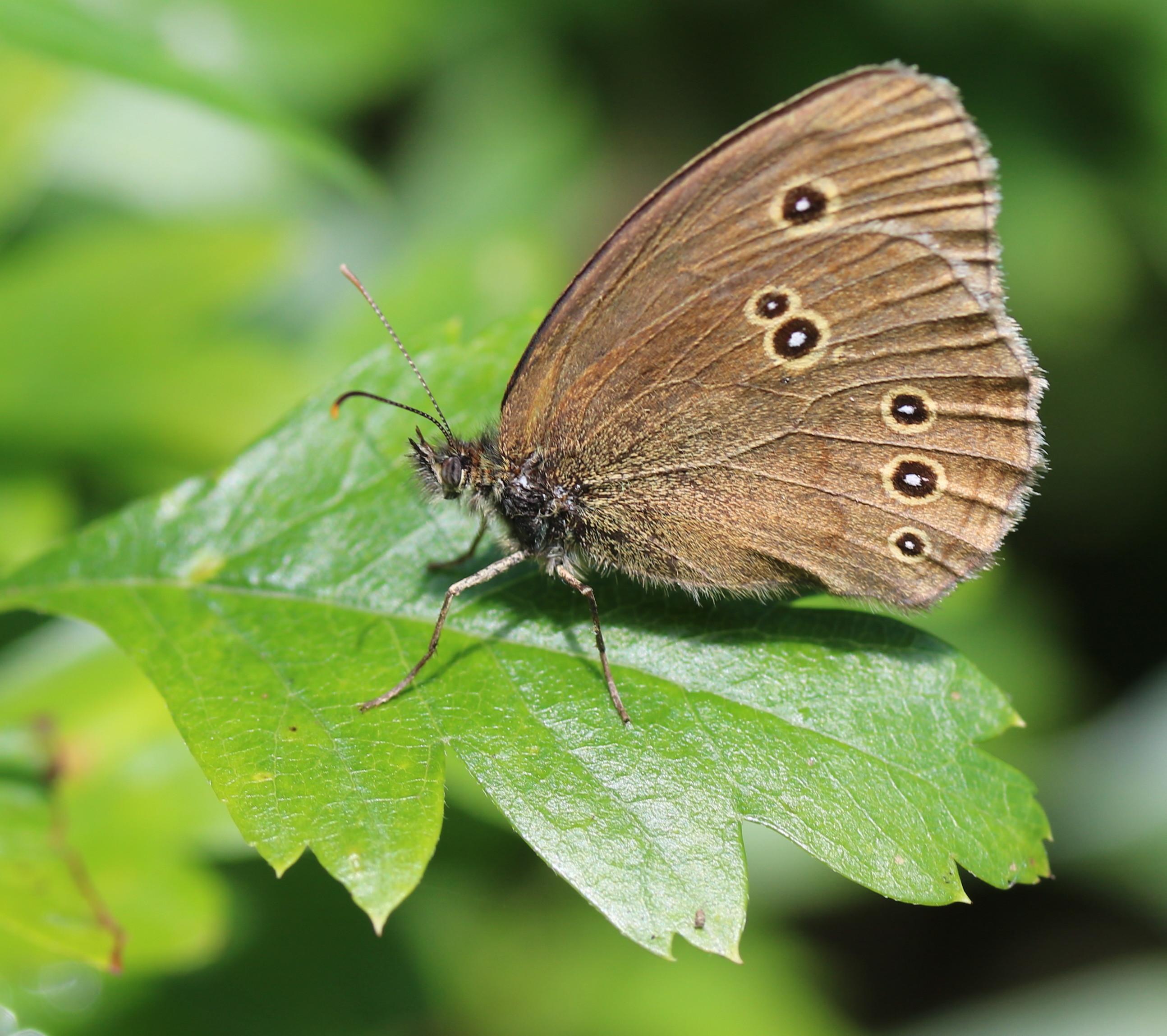 Aphantopus hyperantus