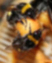 IMG_10781_Bombus terrestris workers_25Ma
