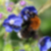 IMG_10845_Bombus hypnorum male_Norwich_5