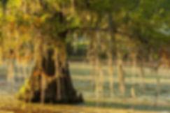 louisiana-lake-martin-cypress-tree-in-sw