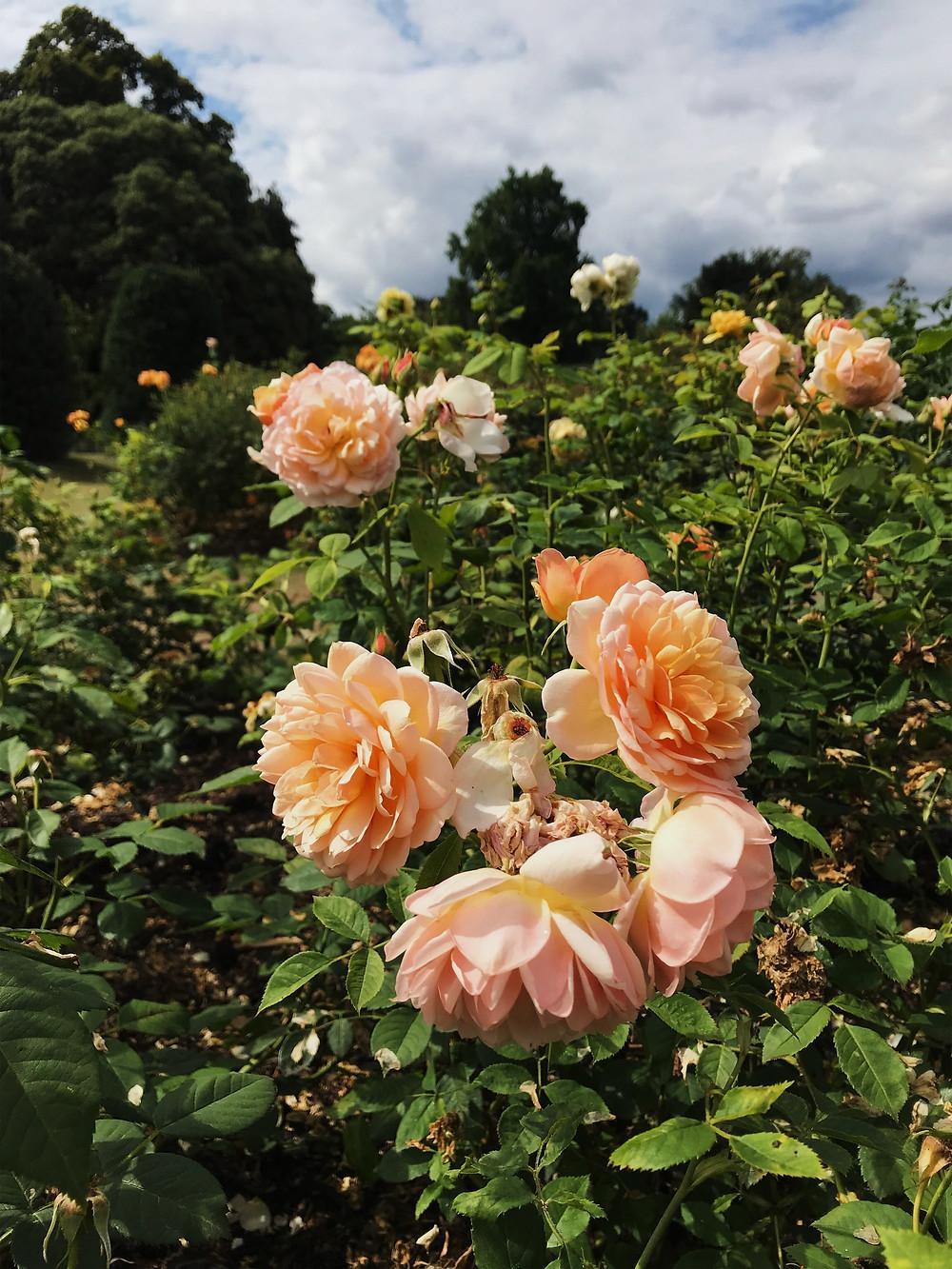 A close up of a rose at The Rose Garden at Kew Gardens