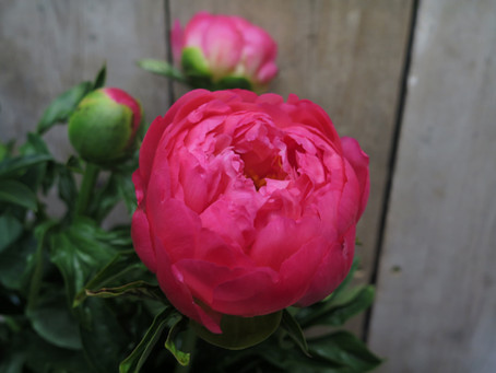 In season with Peony Flowers