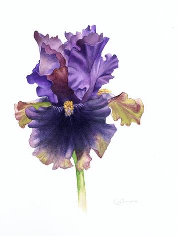 Iris germanica