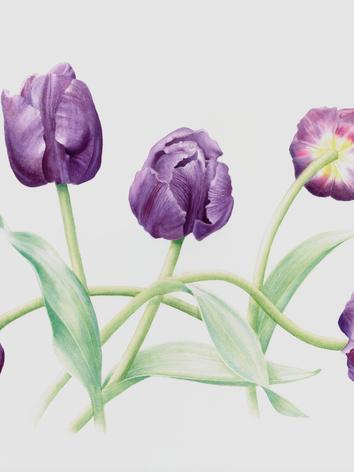 Tulipae 'Putple Flag'