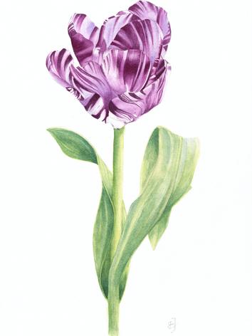 tulipa rembrandt