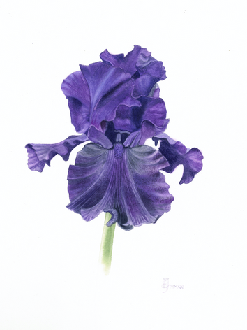Iris 'Slovaka shaphire'