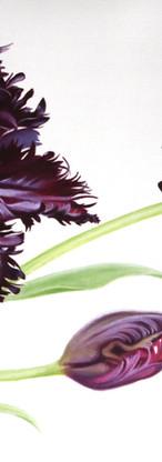 Tulipa Black Parrot -oil.jpeg