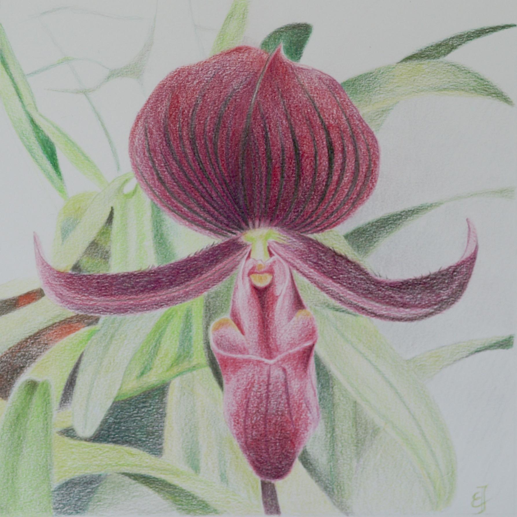 Slipper orchid -Paphiopedilum