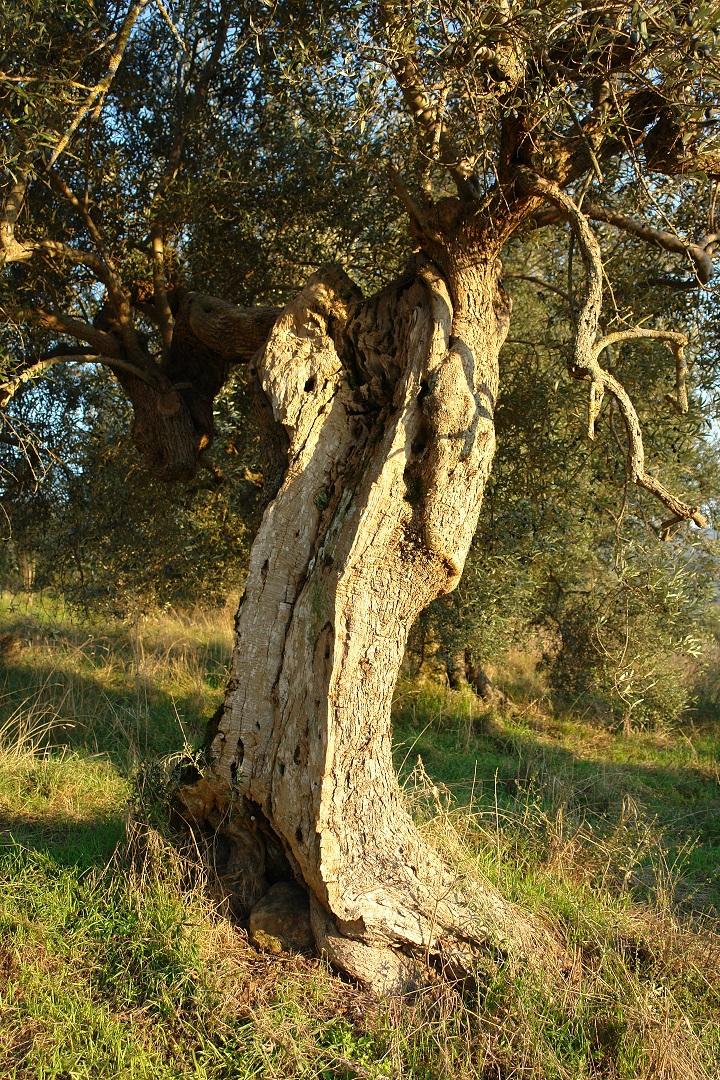 La Torretta 42_Olivenbaum