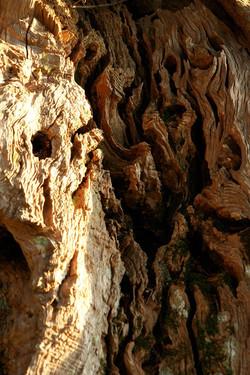La Torretta 42 alter Olivenbaum