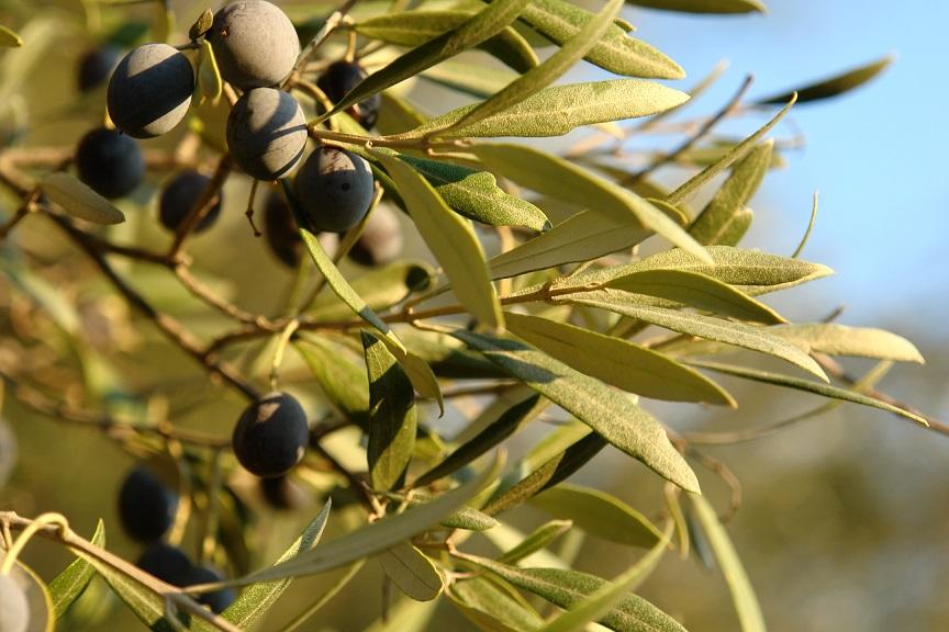 La Torretta 42 Hauseigene Oliven