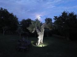 La Torretta 42 Olivenbaum
