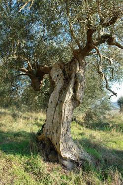 La Torretta 42 Olivenbaum (2)