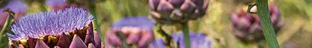 Blühendes Artischockenfeld: je verbundener mit der Erde um so aufgerichteter in der Blühte, mitschwingen im Wind und freier atmen.