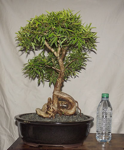 Ficus Bonsai Collection