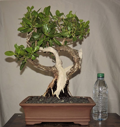 Buttonwood Bonsai Collection