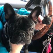 Custom Pet French Bulldog