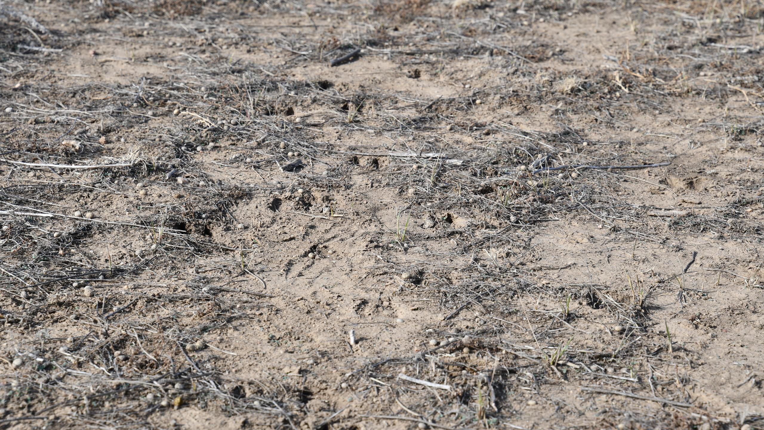 Deer tracks found on the prairie.