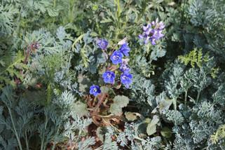 Blue Bells + Lupine