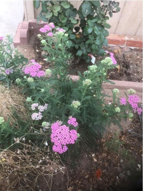 Achillea millefolium 'Island Pink'