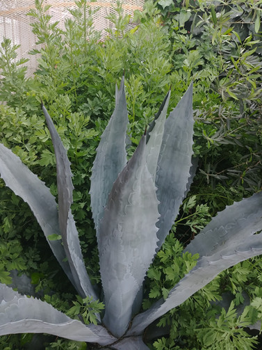 Best of buds, Agave and Poppy