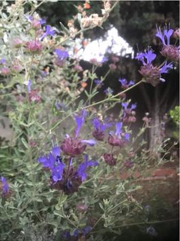 Salvia clevalandii