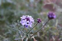 Lilac Verbena