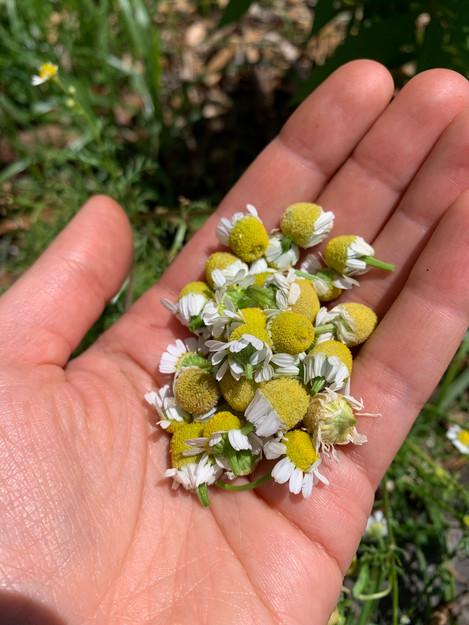 Handful of chamomile!