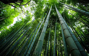 Bamboo, The Prehistoric Weed of the Future