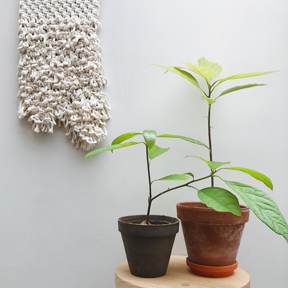 Avocado trees home grown