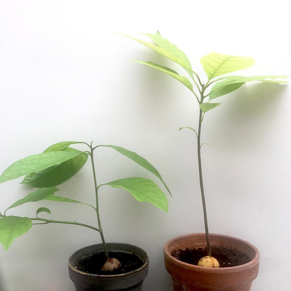 Avocado trees grown at home