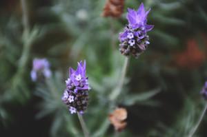 Duo lavender